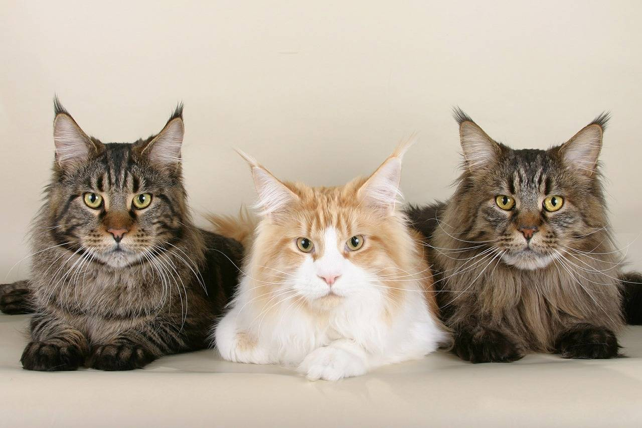 Maine Coon ESA cats